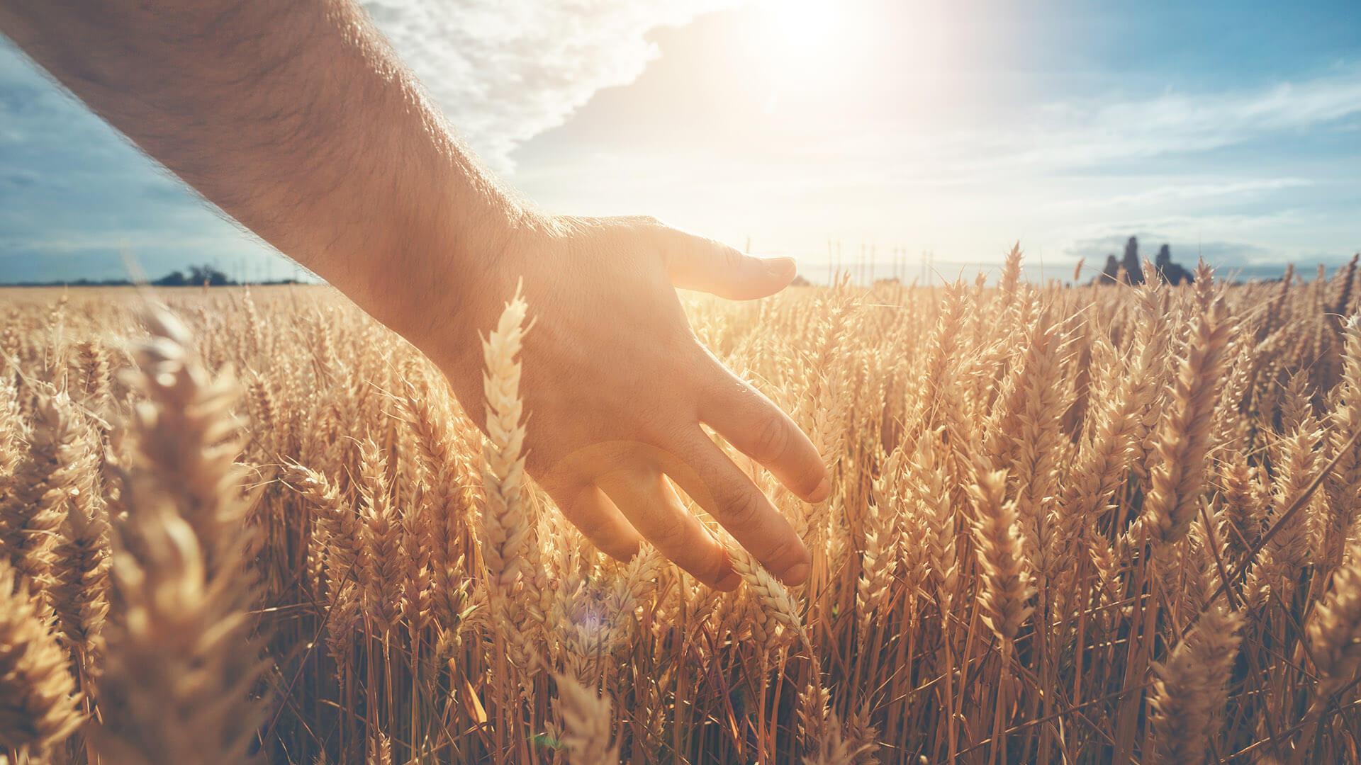 Hand in einem sonnigen Weizenfeld